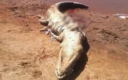 Công nhân mất tích bí ẩn, mổ bụng cá sấu hung dữ thì thấy thi thể anh bên trong