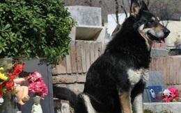 Câu chuyện cảm động về chú chó trung thành canh giữ bên mộ chủ suốt 10 năm