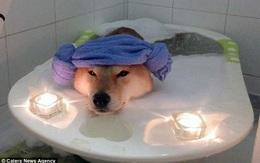 Nhìn boss tắm bồn trong ánh nến lung linh mới thấy, đến chú chó còn sướng hơn mình