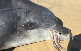 Bị Thần Lợn nhập, cá heo tắc thở vì cố nuốt chửng bạch tuộc khổng lồ