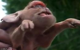 Con lợn đột biến gen có khuôn mặt vừa giống người khổng lồ một mắt, vừa giống tinh tinh