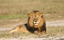 Con trai của Cecil - chú sư tử biểu tượng của Zimbabwe từng bị nha sĩ chặt đầu dã man, cũng đã bị bắn chết