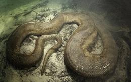 Trăn Anaconda có thực sự ăn thịt người như trên phim không?