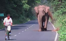 Ai cũng nín thở nhìn con voi hung hăng đuổi theo người đàn ông nhưng bỗng dưng nó dừng lại, quay đầu làm một việc