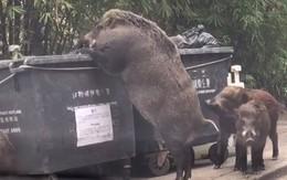 Lợn rừng khổng lồ đang tung tăng đi lục thùng rác kiếm ăn trong thành phố