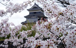 Nếu tưởng Sakura - hoa anh đào Nhật Bản chỉ có một loại thì bạn đã nhầm to rồi
