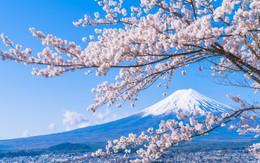 """Sakura - loài hoa """"chứng nhân lịch sử"""" cho Nhật Bản trong suốt hàng thế kỷ"""
