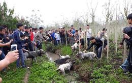 """Cho chó săn và lợn rừng """"tử chiến"""": Thú chơi man rợ giữa lòng Hà Nội"""