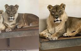 Bí ẩn sư tử cái 18 năm bỗng mọc bờm như con đực cuối cùng đã có câu trả lời