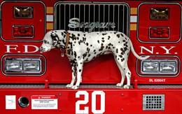 """Bạn có tin không khi những chú chó đốm lại là """"lực lượng cứu hỏa"""" cực đặc biệt của Anh và Mỹ"""