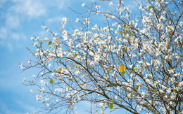 Không chỉ mai anh đào, Đà Lạt mùa này còn khiến người ta xuyến xao vì hoa ban trắng