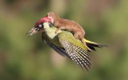 """Chùm ảnh khoảnh khắc động vật khác loài """"cõng"""" nhau - thế mới thấy thiên nhiên kỳ thú thế nào"""