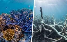 Rạn san hô sắp tuyệt chủng ở Úc sẽ được giải cứu nhờ... ngân hàng tinh trùng
