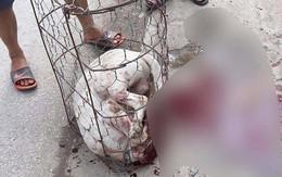 Hà Nội: Chó Pitbull cắn chủ và hàng xóm nhập viện