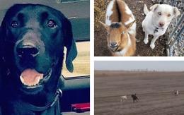 Dân mạng phát sốt với con chó mực đi hoang cả tháng, lúc về dắt thêm 2 bạn chó và dê