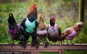 Đàn gà sành điệu được diện áo len chống rét