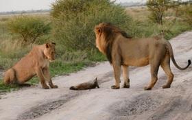 Bạn sẽ cực kỳ bất ngờ khi biết cặp sư tử này đã làm gì với chú cáo nhỏ bị thương