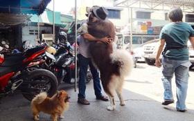Có em chó Alaska khổng lồ cao 1m76, nặng 73kg bên cạnh thì cần gì người yêu nữa