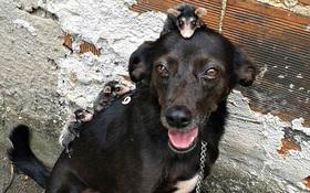 Chó mẹ tốt bụng nhận nuôi đàn chồn túi lang thang cơ nhỡ