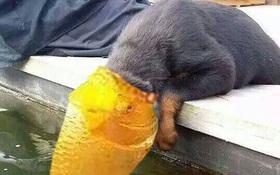 Bộ ảnh chế cười ra nước mắt của đôi tình nhân trái khoáy chó và cá chép koi