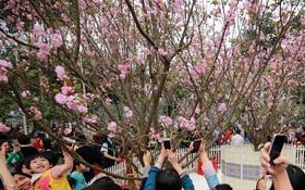 Hàng trăm cây hoa anh đào từ Nhật khoe sắc tuyệt đẹp ở Hà Nội