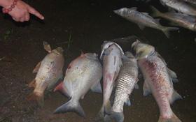 Hà Nội: Cá nặng cả cân chết bất thường ở hồ Linh Đàm, nhóm người thu dọn sạch sẽ trong đêm
