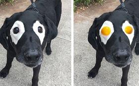 Xem loạt ảnh chế của chú chó này mới thấy sinh ra có đôi mắt gấu trúc cũng là cái tội