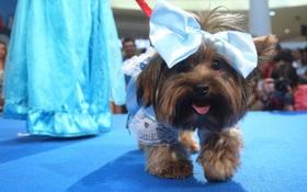 Loạt người mẫu chân ngắn hội tụ tại Victoria's Secret Fashion Show phiên bản chó