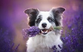 Cuộc dạo chơi giữa cánh đồng oải hương mộng mơ của những em chó mặt xinh