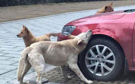 """Bị đá vào mông, chú chó gọi """"500 anh em bạn dì"""" đến cắn xe trả thù"""