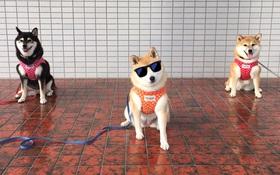 Quên hết mệt mỏi khi ngắm hình ảnh 3 anh em nhà cún Shiba Inu đi đâu cũng có nhau