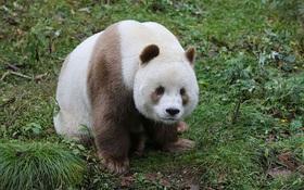 Chú gấu trúc đã dễ thương lại còn sở hữu bộ lông nâu duy nhất trên thế giới