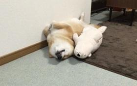 Chú chó Shiba có sở thích ôm gấu bông đi ngủ hệt như con người