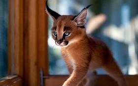 Giống mèo tai nhọn tuyệt đẹp mang hơi thở của rừng sâu