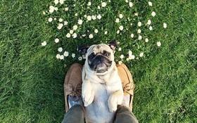 Gặp gỡ chú chó pug có kinh nghiệm du lịch hoành tráng hơn cả bạn