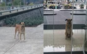 6 tháng kiên nhẫn chờ cô gái trước cửa khách sạn, chú chó này đã có một cái kết tuyệt vời