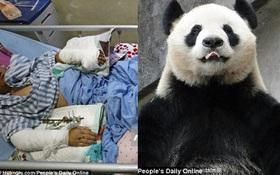 """Trung Quốc: """"Bảo mẫu"""" bị gấu trúc đánh trọng thương, phải nhập viện trong tình trạng nguy kịch"""