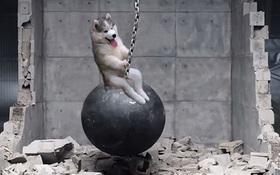 """Ham chơi hái dừa, chú chó Alaska bị các thánh chế ảnh cho """"lên sóng"""" tuần này"""