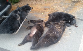 Ăn phải cây độc, cả nhà gấu chết thảm ngay trong bãi đậu xe nhà thờ