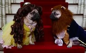 """Phim ngắn hài hước ăn theo siêu phẩm """"Người đẹp và Quái vật"""" của cặp đôi chó pug"""