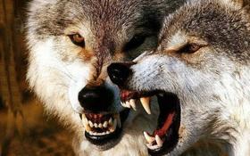 Bạn không bao giờ thấy chó sói trong rạp xiếc và lý do bất ngờ đằng sau