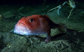 Phát hiện dưới đáy biển loài cá mồm rộng có chân đi lại thoăn thoắt