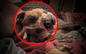 Giải mã bí ẩn về chú chó bị biến dạng toàn bộ mặt đang gây bão Internet