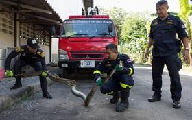Thái Lan: Cơn ác mộng 31,801 con trăn, rắn chui lên từ bồn cầu ám ảnh người dân
