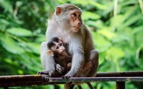 Chùm ảnh: Chuyện về đàn khỉ đuôi dài nương náu trong ngôi chùa ở Vũng Tàu, sống nhờ thức ăn của du khách