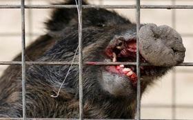 Hiểm họa lợn rừng nhiễm phóng xạ hạt nhân ngày càng liều lĩnh và hung dữ