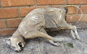 Dọn nhà kho bỗng phát hiện xác ướp mèo tự hóa khô đã 30 năm tuổi