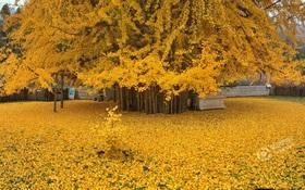 Thảm lá vàng đẹp đến nao lòng dưới gốc cây ngân hạnh nghìn năm tuổi thu hút tới 70.000 du khách/ngày