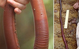 Mưa lớn ở Úc làm lộ diện loài giun đất khổng lồ ai xem qua cũng ngỡ là rắn