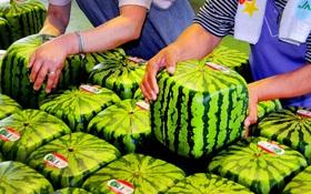 Đây mới là lý do thật sự khiến người Nhật Bản trồng dưa hấu vuông